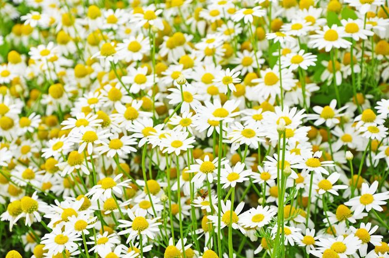 Để giảm stress và thêm yêu đời thì đừng bỏ qua 4 loài hoa này trong khu  vườn nhà bạn