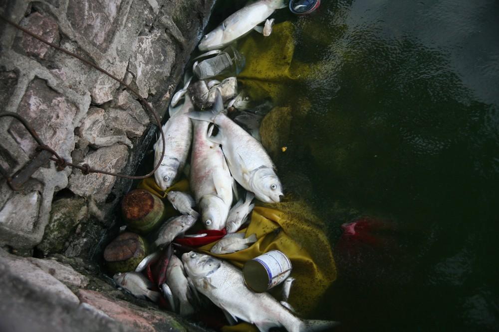 Hà Nội: Người dân hốt hoảng vì hồ Tây cá lại chết nổi trắng góc hồ sau 1 đêm - Ảnh 14.