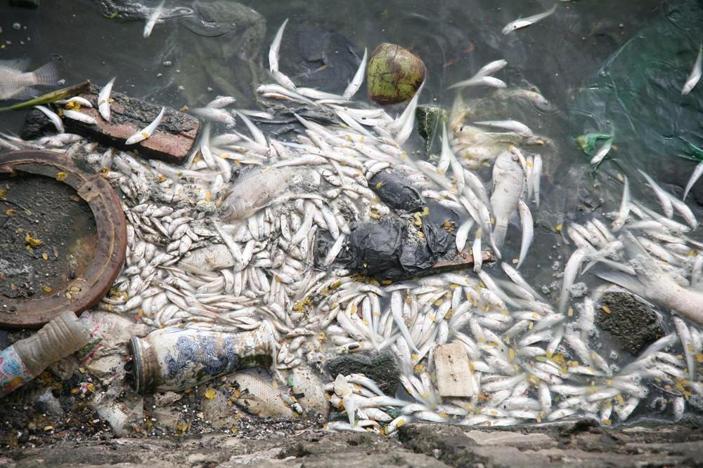 Hà Nội: Người dân hốt hoảng vì hồ Tây cá lại chết nổi trắng góc hồ sau 1 đêm - Ảnh 16.