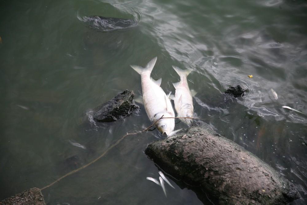 Hà Nội: Người dân hốt hoảng vì hồ Tây cá lại chết nổi trắng góc hồ sau 1 đêm - Ảnh 17.