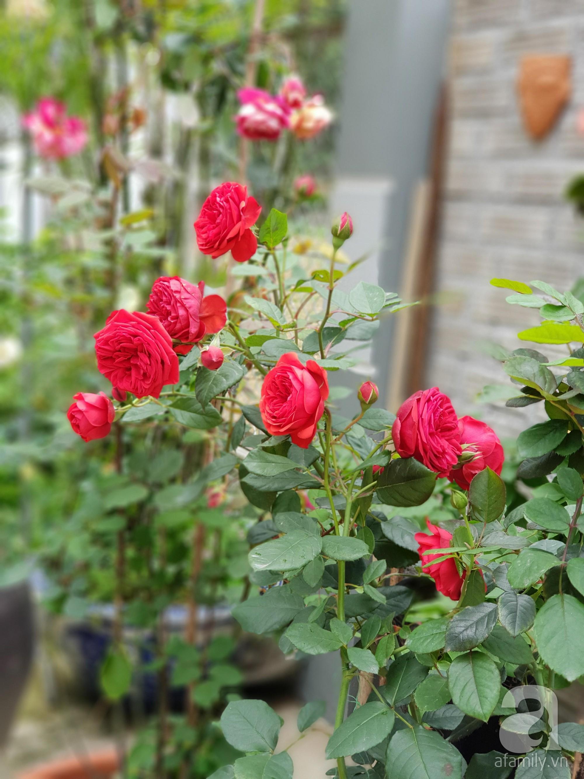 Ngôi nhà hoa hồng thơm ngát và rực rỡ với hàng trăm gốc hồng trên triền núi của cô giáo ở Cao Bằng - Ảnh 8.