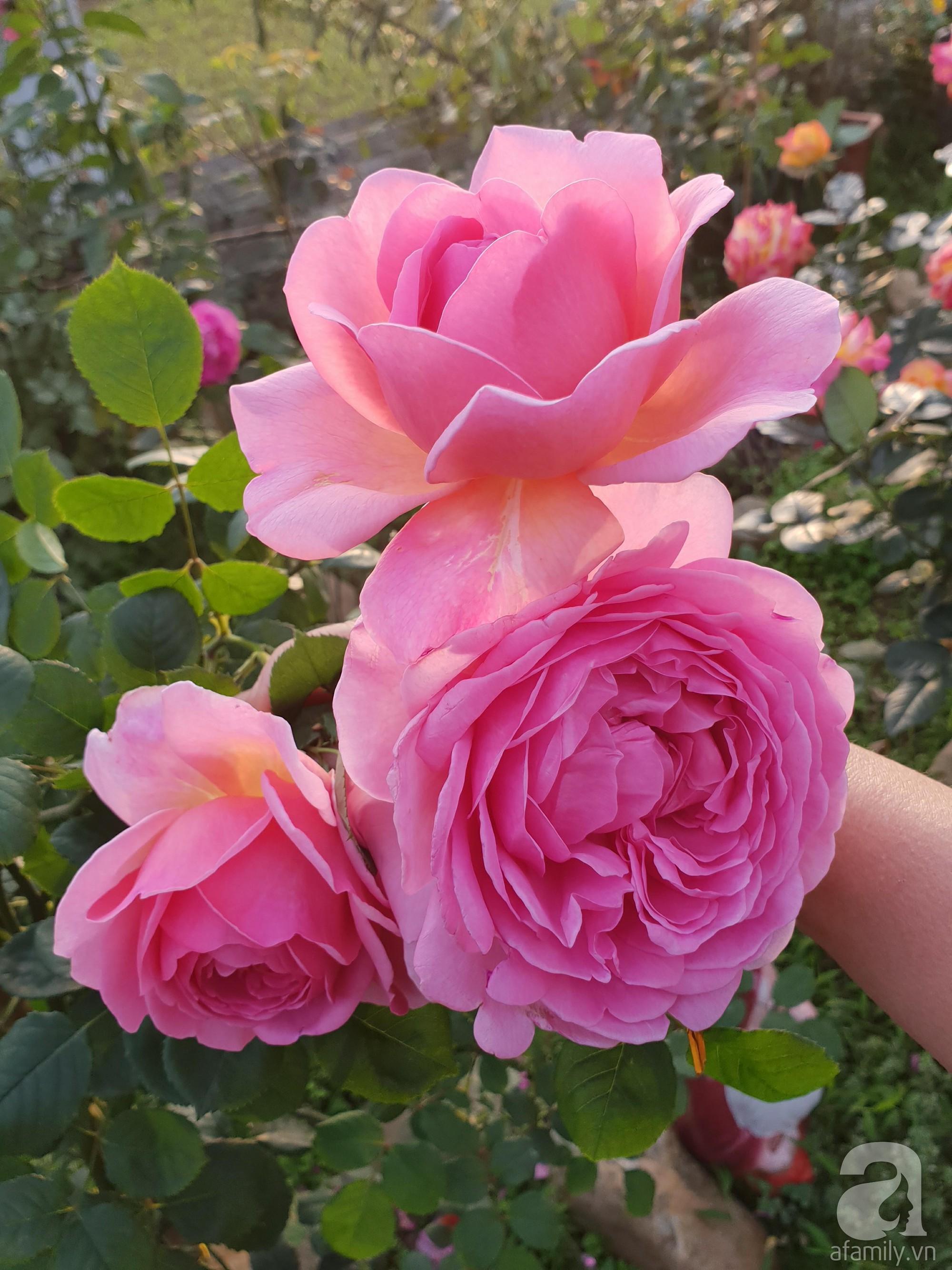 Ngôi nhà hoa hồng thơm ngát và rực rỡ với hàng trăm gốc hồng trên triền núi của cô giáo ở Cao Bằng - Ảnh 7.
