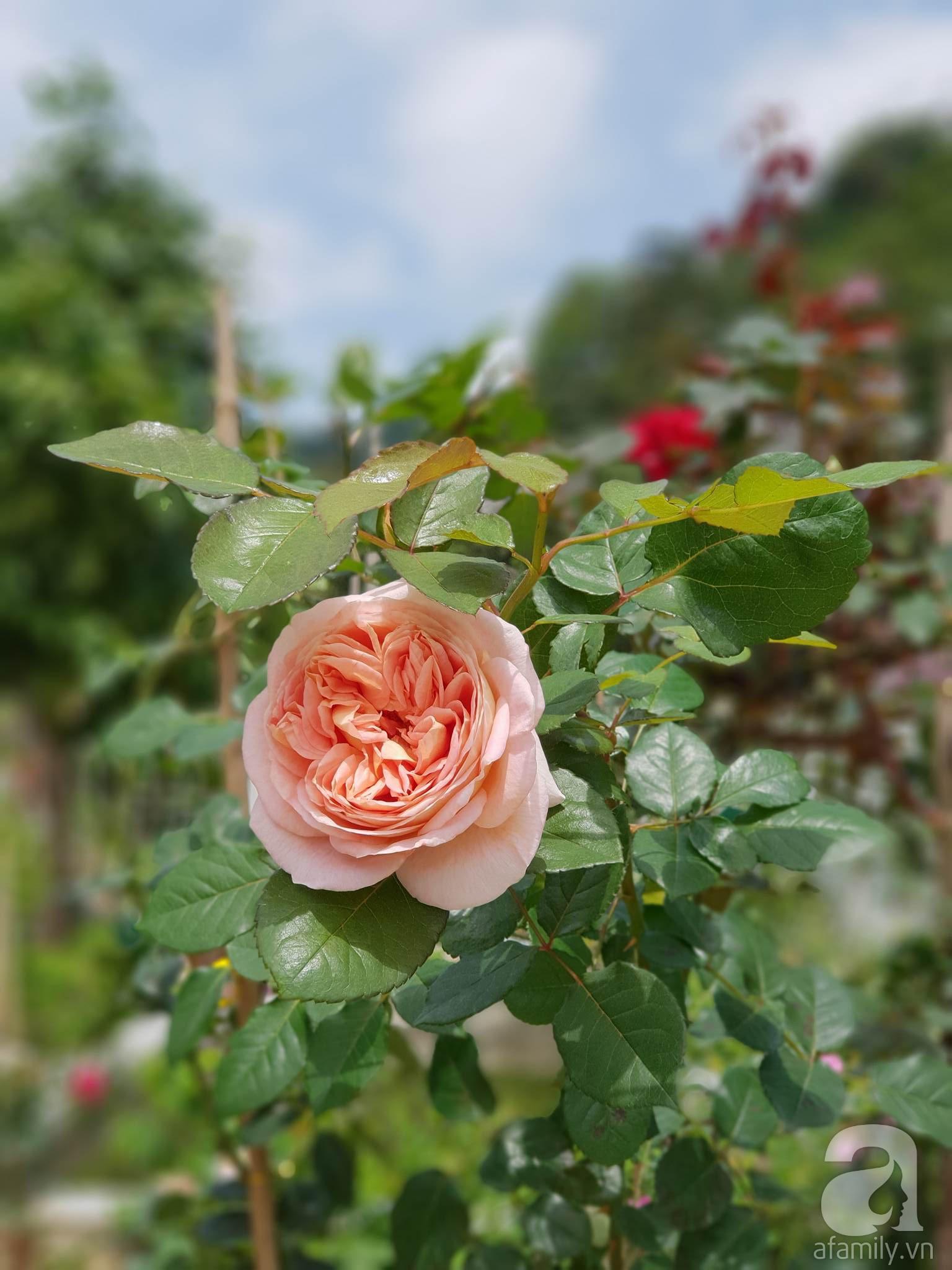 Ngôi nhà hoa hồng thơm ngát và rực rỡ với hàng trăm gốc hồng trên triền núi của cô giáo ở Cao Bằng - Ảnh 24.