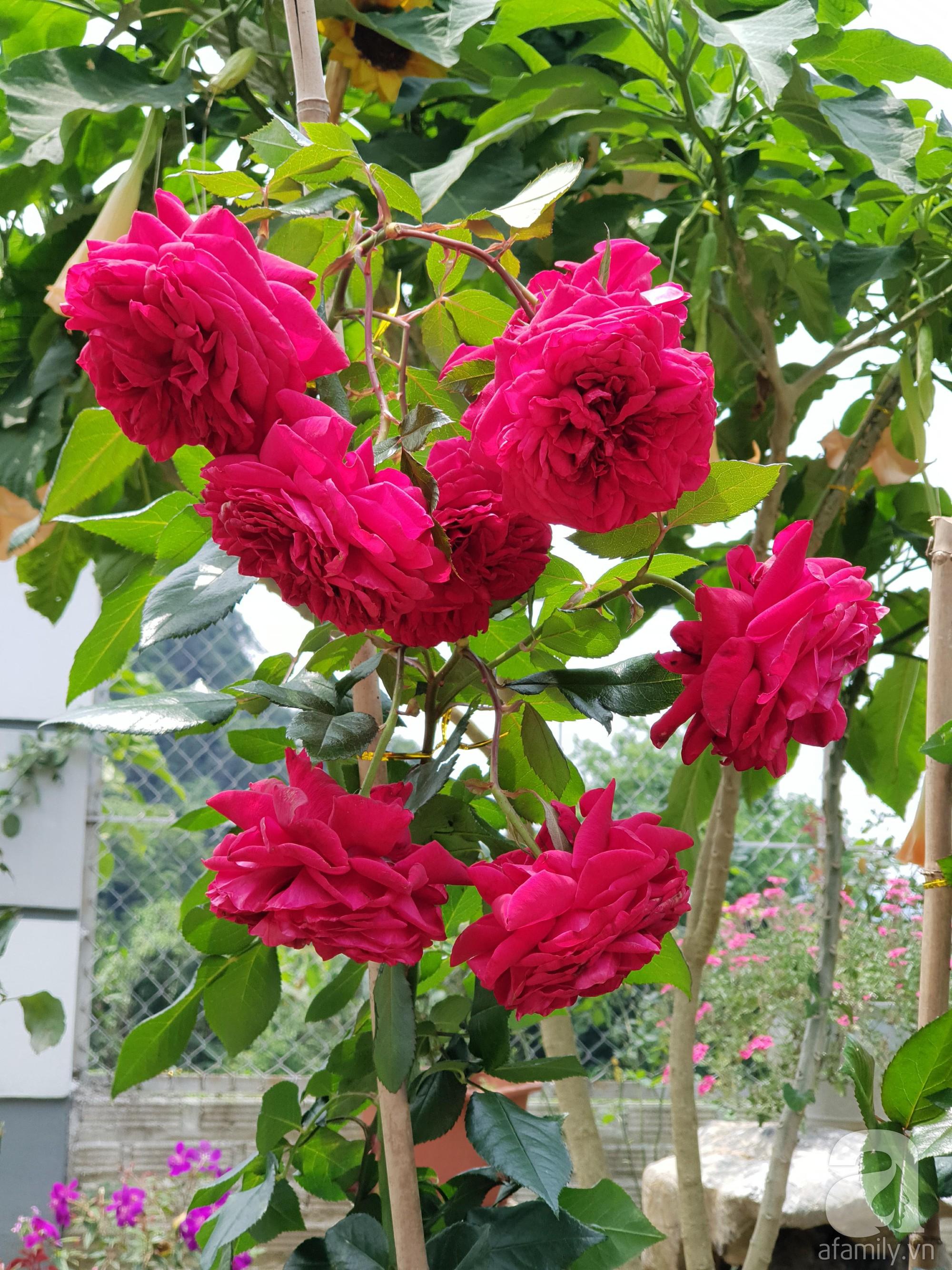 Ngôi nhà hoa hồng thơm ngát và rực rỡ với hàng trăm gốc hồng trên triền núi của cô giáo ở Cao Bằng - Ảnh 23.