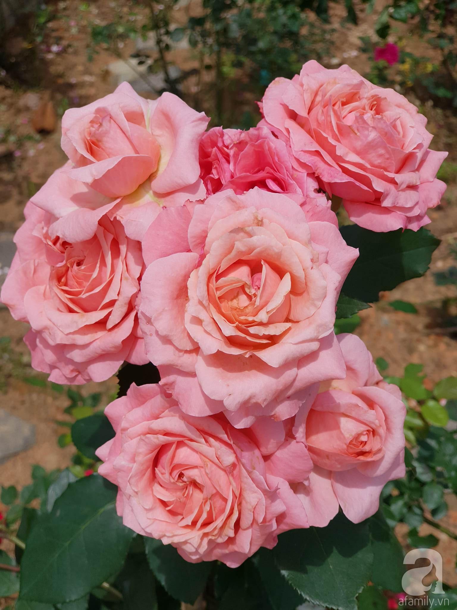 Ngôi nhà hoa hồng thơm ngát và rực rỡ với hàng trăm gốc hồng trên triền núi của cô giáo ở Cao Bằng - Ảnh 21.