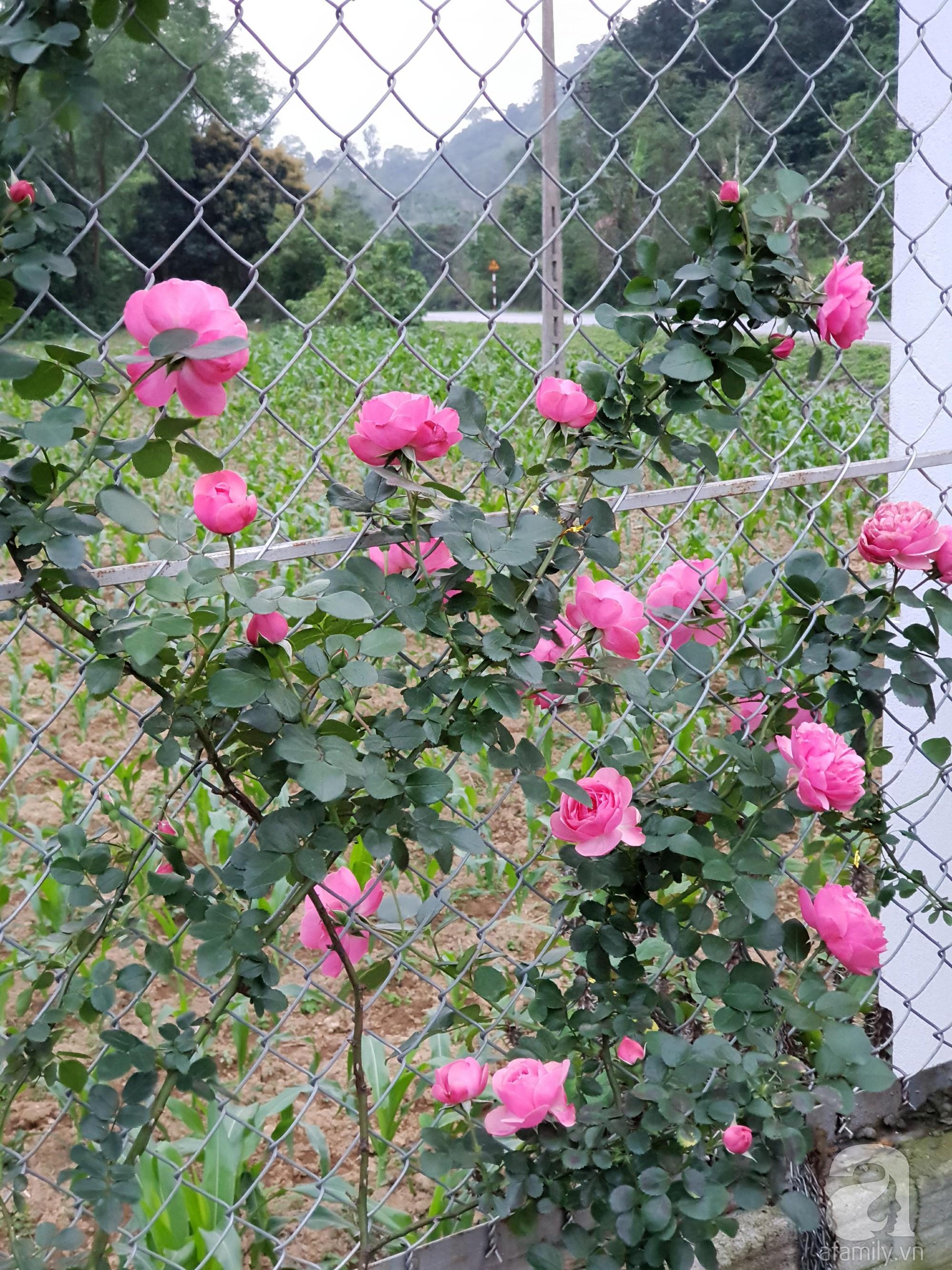 Ngôi nhà hoa hồng thơm ngát và rực rỡ với hàng trăm gốc hồng trên triền núi của cô giáo ở Cao Bằng - Ảnh 20.