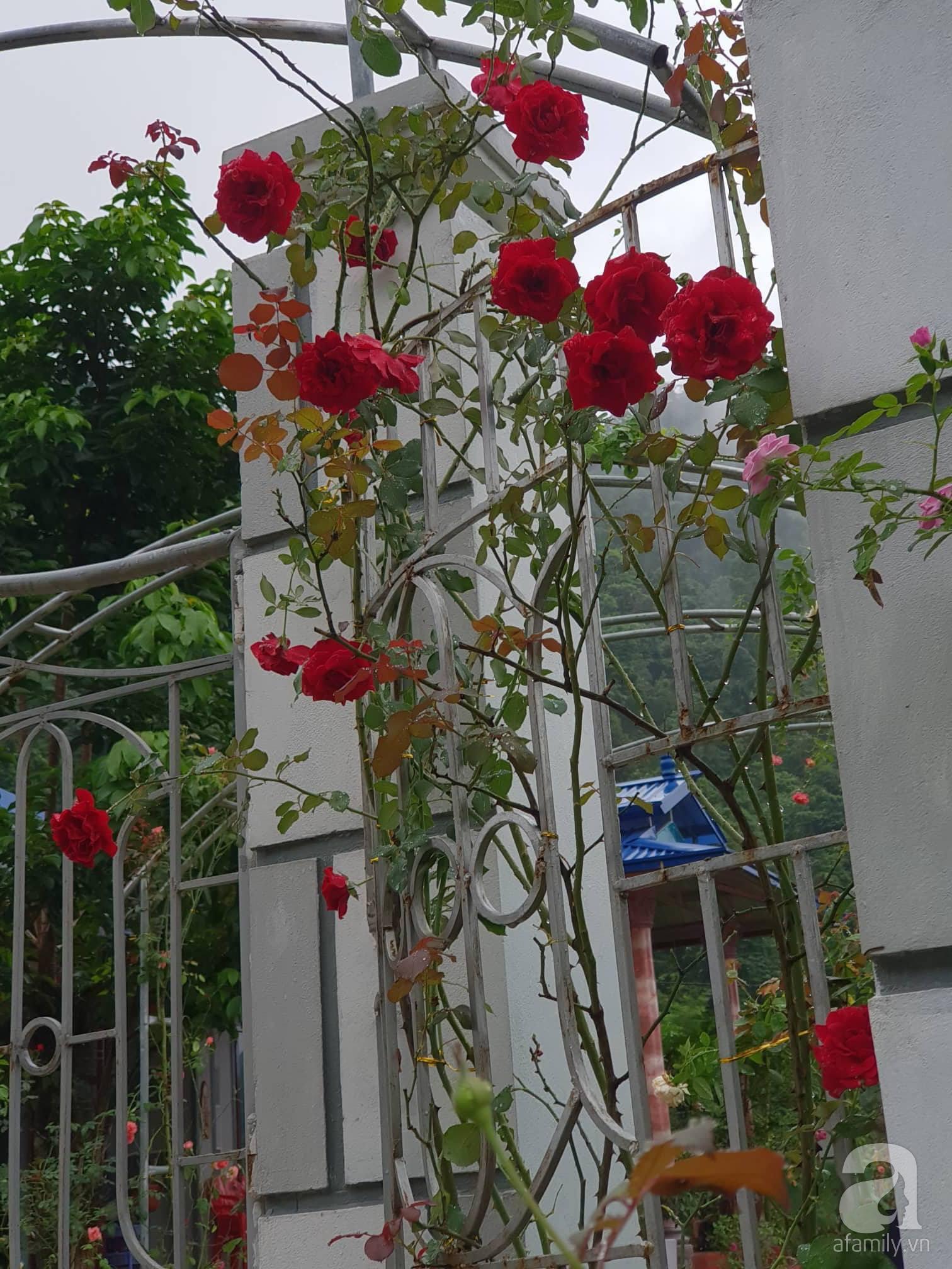 Ngôi nhà hoa hồng thơm ngát và rực rỡ với hàng trăm gốc hồng trên triền núi của cô giáo ở Cao Bằng - Ảnh 18.