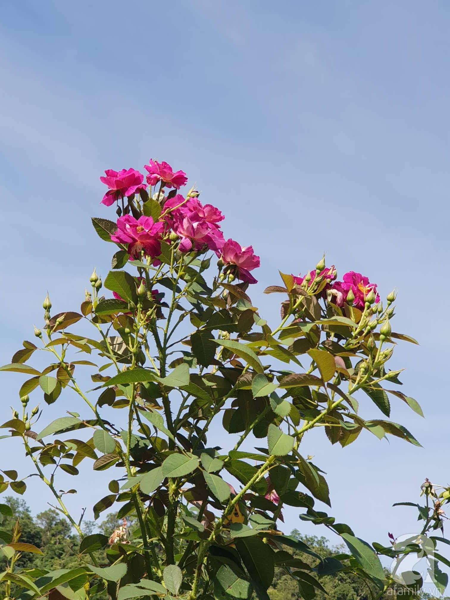 Ngôi nhà hoa hồng thơm ngát và rực rỡ với hàng trăm gốc hồng trên triền núi của cô giáo ở Cao Bằng - Ảnh 16.