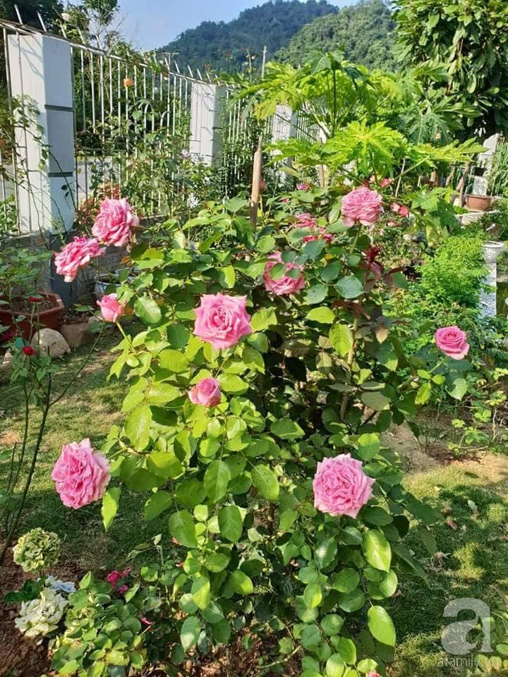 Ngôi nhà hoa hồng thơm ngát và rực rỡ với hàng trăm gốc hồng trên triền núi của cô giáo ở Cao Bằng - Ảnh 15.
