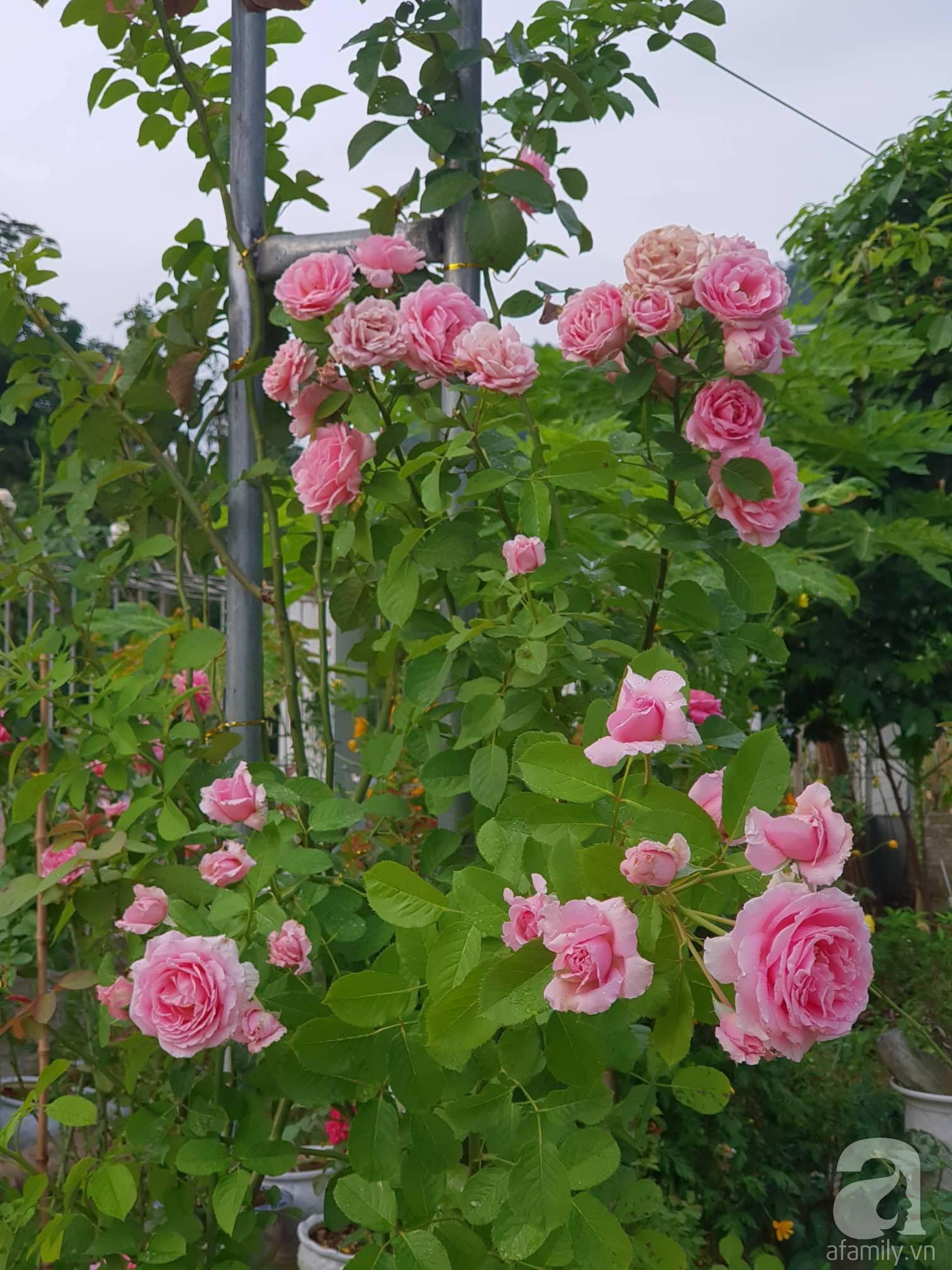 Ngôi nhà hoa hồng thơm ngát và rực rỡ với hàng trăm gốc hồng trên triền núi của cô giáo ở Cao Bằng - Ảnh 14.