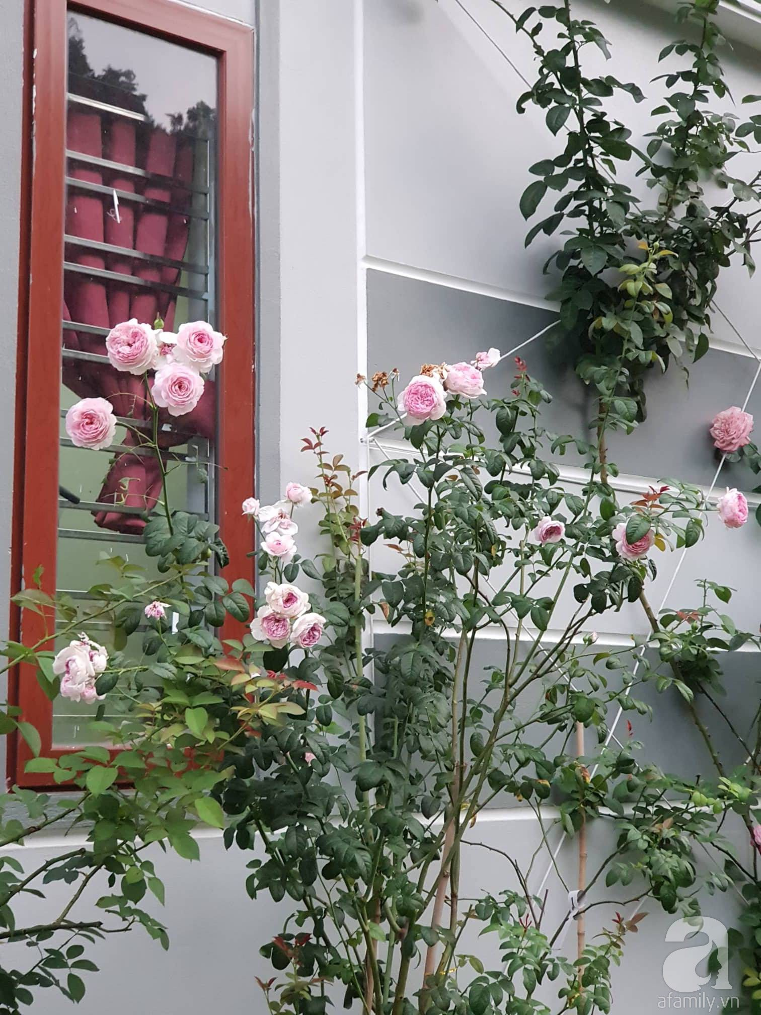 Ngôi nhà hoa hồng thơm ngát và rực rỡ với hàng trăm gốc hồng trên triền núi của cô giáo ở Cao Bằng - Ảnh 12.