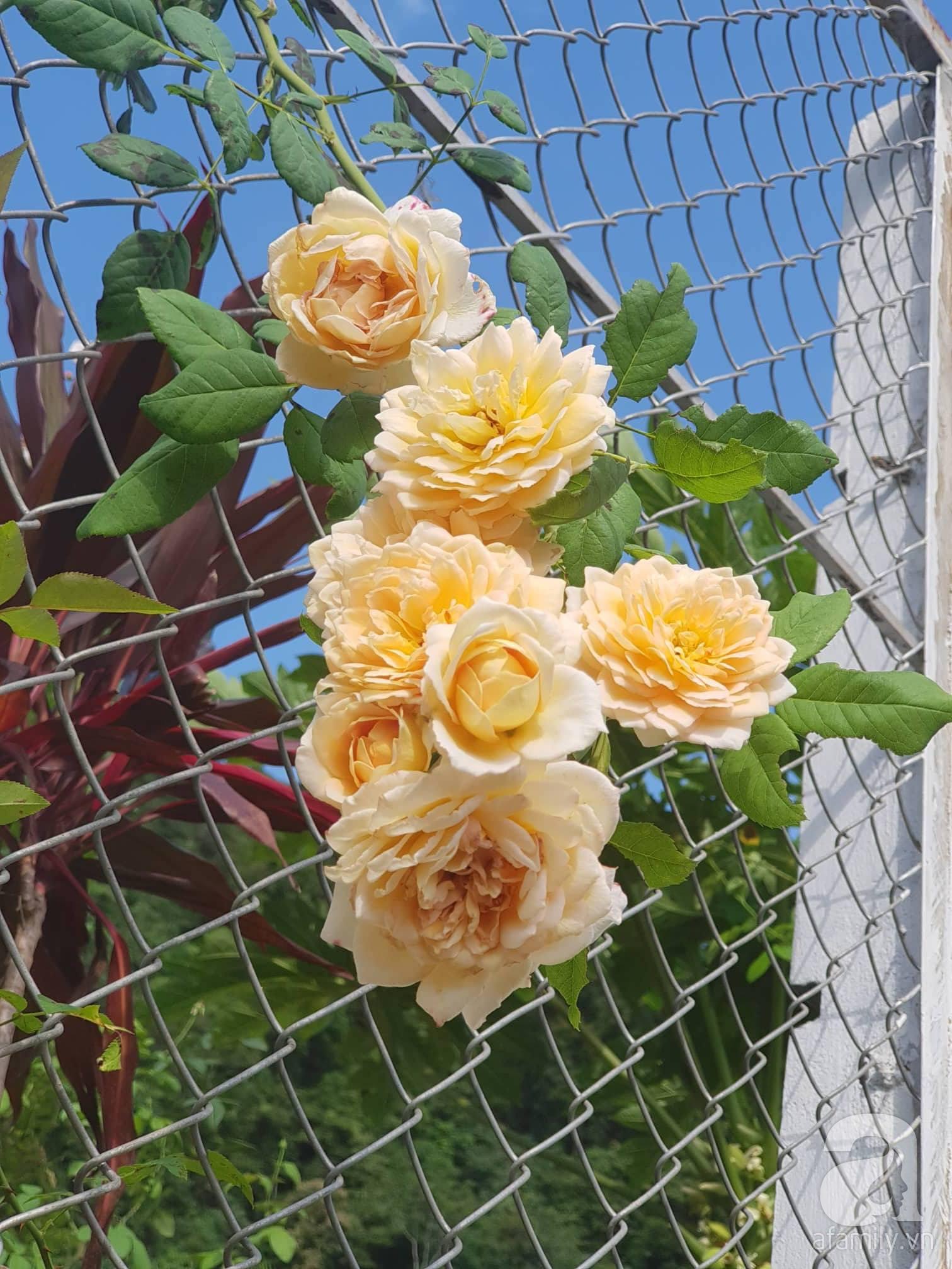 Ngôi nhà hoa hồng thơm ngát và rực rỡ với hàng trăm gốc hồng trên triền núi của cô giáo ở Cao Bằng - Ảnh 11.