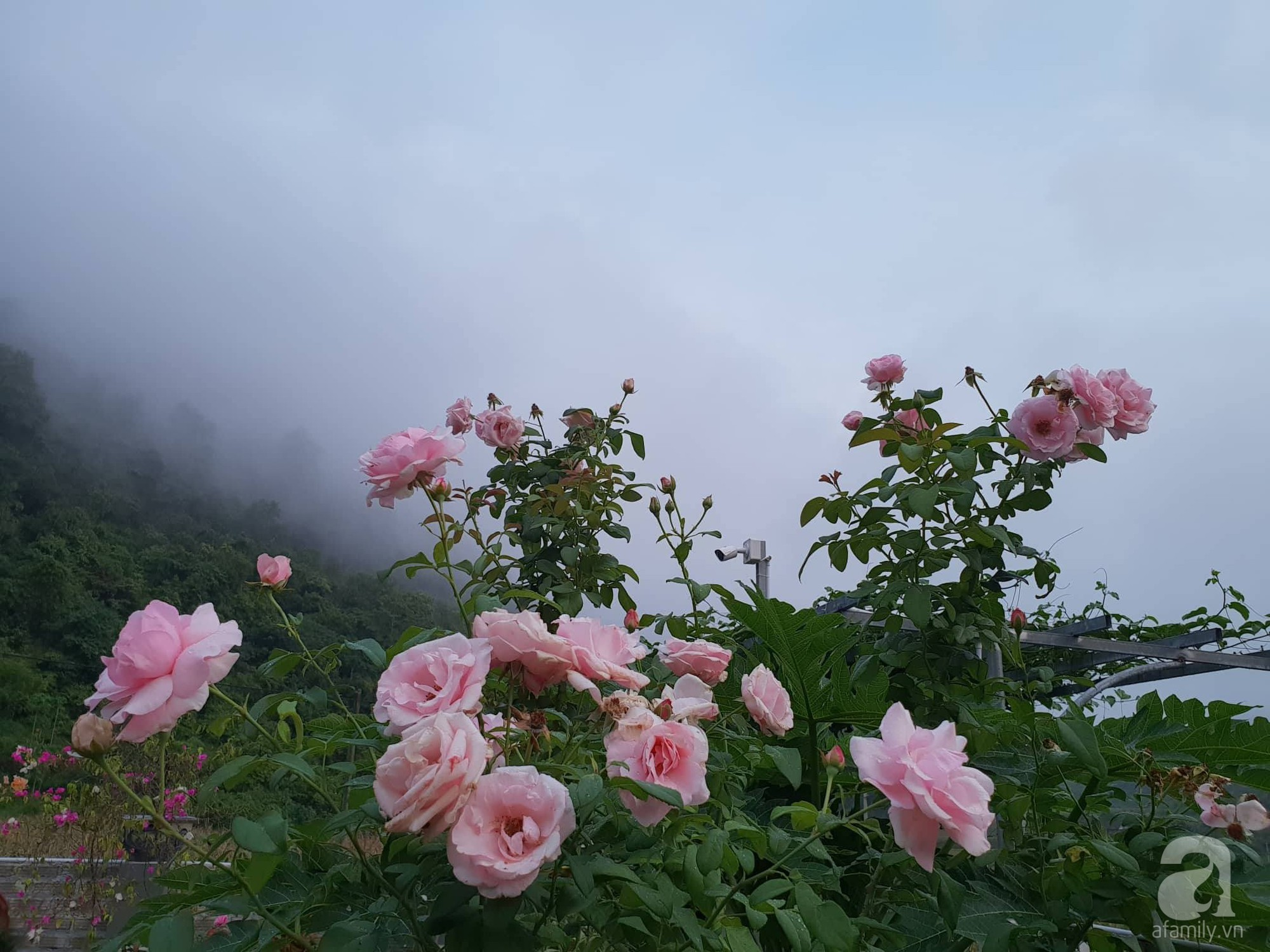Ngôi nhà hoa hồng thơm ngát và rực rỡ với hàng trăm gốc hồng trên triền núi của cô giáo ở Cao Bằng - Ảnh 9.