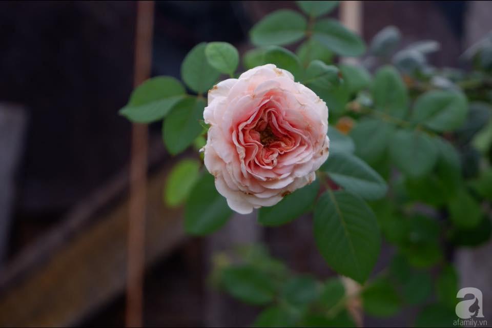 Khu vườn trên sân thượng vỏn vẹn 25m² nhưng có đủ thứ từ rau sạch đến hoa đẹp của bà mẹ trẻ ở Hà Nội - Ảnh 13.