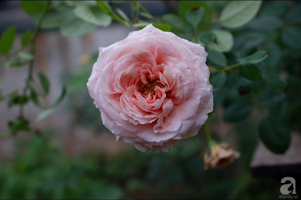 Khu vườn trên sân thượng vỏn vẹn 25m² nhưng có đủ thứ từ rau sạch đến hoa đẹp của bà mẹ trẻ ở Hà Nội - Ảnh 10.