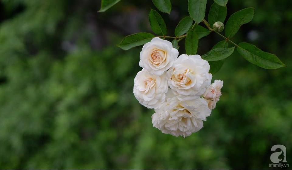 Khu vườn trên sân thượng vỏn vẹn 25m² nhưng có đủ thứ từ rau sạch đến hoa đẹp của bà mẹ trẻ ở Hà Nội - Ảnh 9.