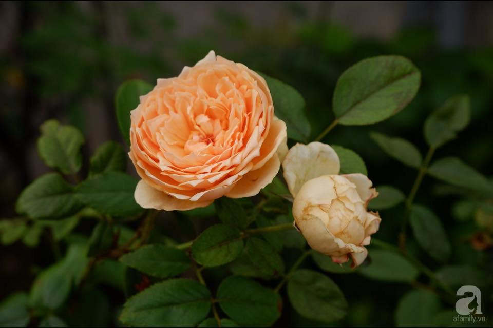 Khu vườn trên sân thượng vỏn vẹn 25m² nhưng có đủ thứ từ rau sạch đến hoa đẹp của bà mẹ trẻ ở Hà Nội - Ảnh 8.