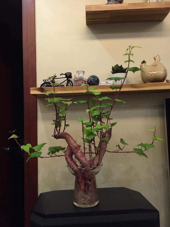 Bonsai củ khoai - hình thức tạo nên mảng xanh trong gia đình và công sở, vừa rẻ, vừa đẹp lại vô cùng độc đáo khiến MXH dậy sóng? - Ảnh 2.