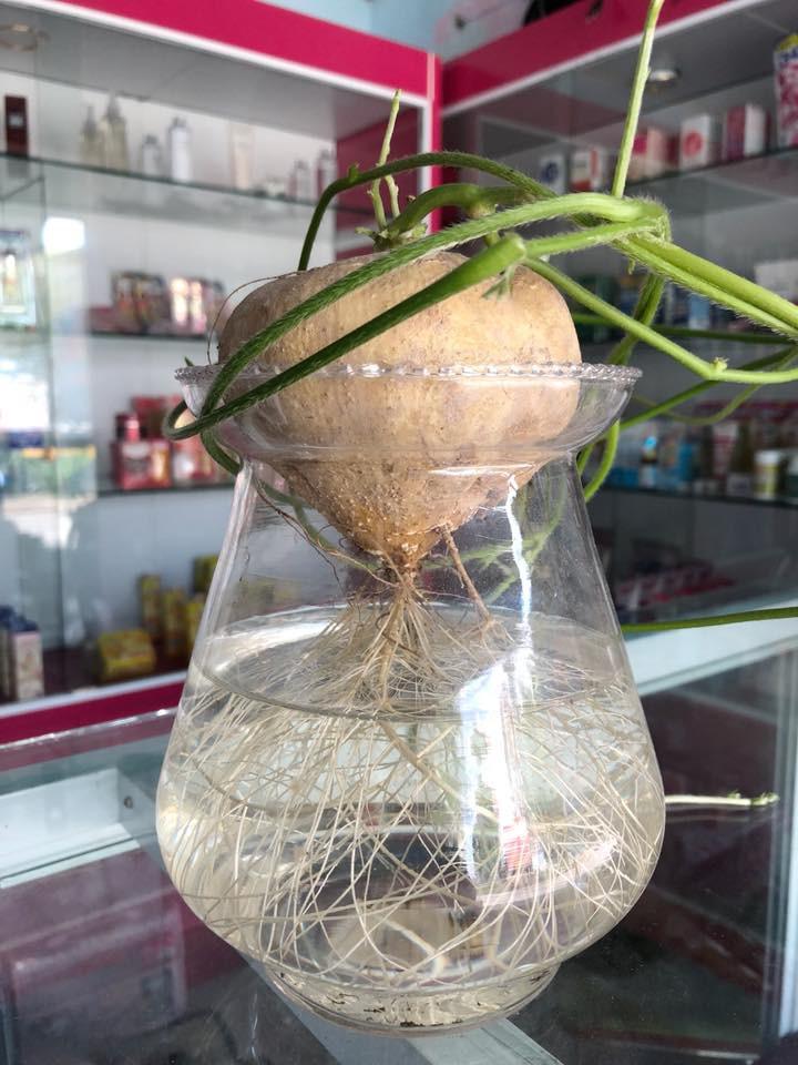 Bonsai củ khoai - hình thức tạo nên mảng xanh trong gia đình và công sở, vừa rẻ, vừa đẹp lại vô cùng độc đáo khiến MXH dậy sóng? - Ảnh 15.