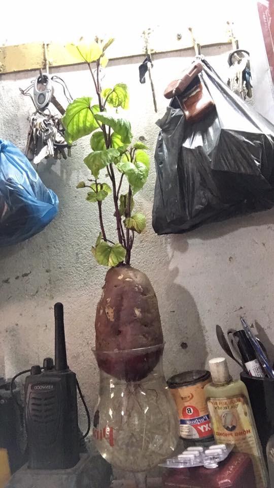 Bonsai củ khoai - hình thức tạo nên mảng xanh trong gia đình và công sở, vừa rẻ, vừa đẹp lại vô cùng độc đáo khiến MXH dậy sóng? - Ảnh 14.