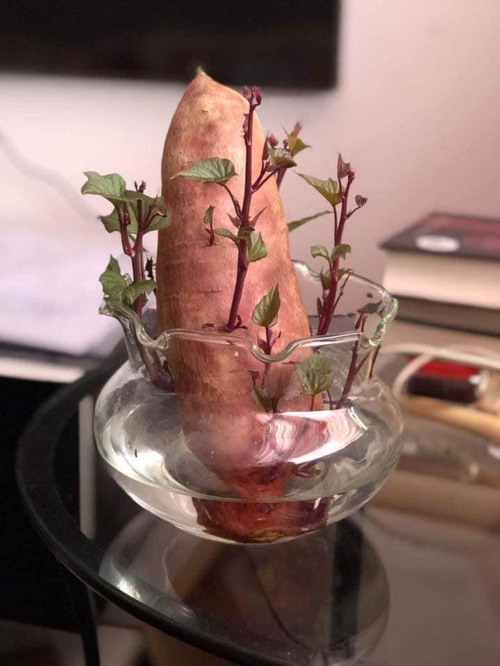 Bonsai củ khoai - hình thức tạo nên mảng xanh trong gia đình và công sở, vừa rẻ, vừa đẹp lại vô cùng độc đáo khiến MXH dậy sóng? - Ảnh 1.
