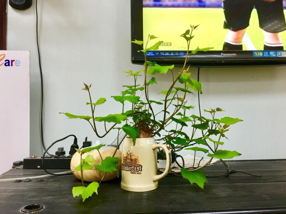 Bonsai củ khoai - hình thức tạo nên mảng xanh trong gia đình và công sở, vừa rẻ, vừa đẹp lại vô cùng độc đáo khiến MXH dậy sóng? - Ảnh 13.