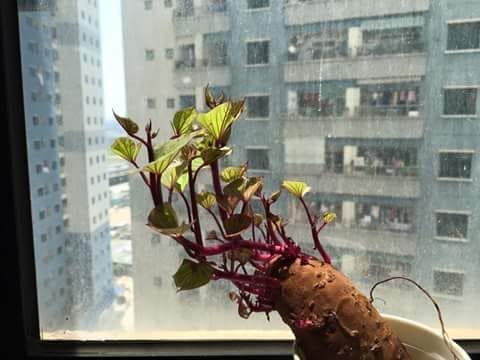 Bonsai củ khoai - hình thức tạo nên mảng xanh trong gia đình và công sở, vừa rẻ, vừa đẹp lại vô cùng độc đáo khiến MXH dậy sóng? - Ảnh 12.
