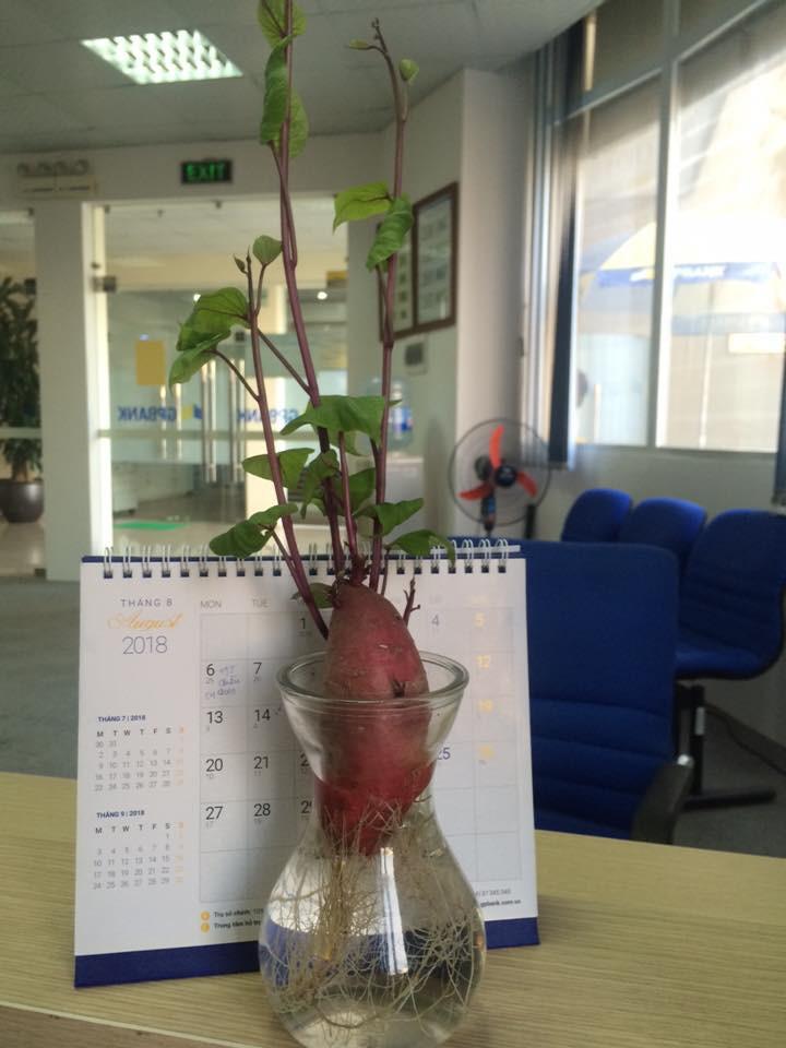 Bonsai củ khoai - hình thức tạo nên mảng xanh trong gia đình và công sở, vừa rẻ, vừa đẹp lại vô cùng độc đáo khiến MXH dậy sóng? - Ảnh 4.