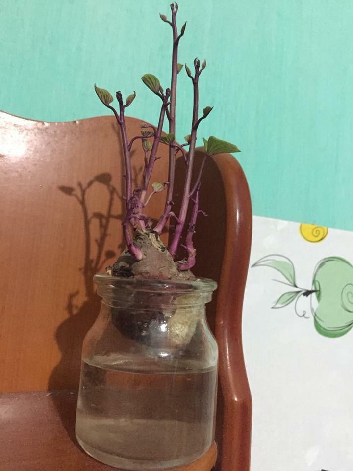 Bonsai củ khoai - hình thức tạo nên mảng xanh trong gia đình và công sở, vừa rẻ, vừa đẹp lại vô cùng độc đáo khiến MXH dậy sóng? - Ảnh 7.