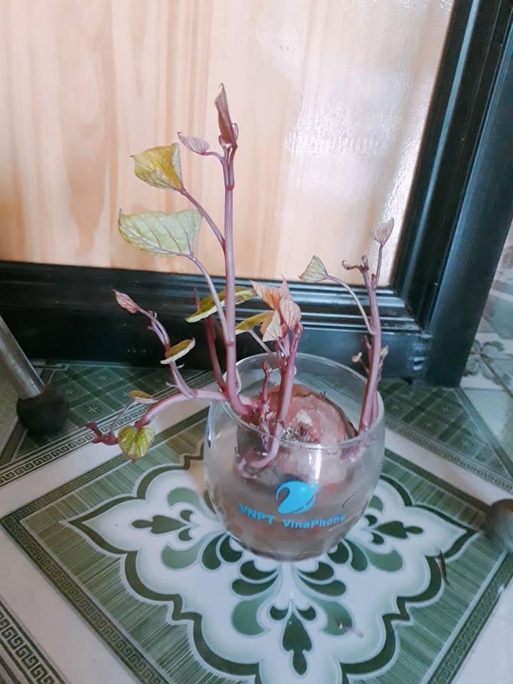 Bonsai củ khoai - hình thức tạo nên mảng xanh trong gia đình và công sở, vừa rẻ, vừa đẹp lại vô cùng độc đáo khiến MXH dậy sóng? - Ảnh 6.