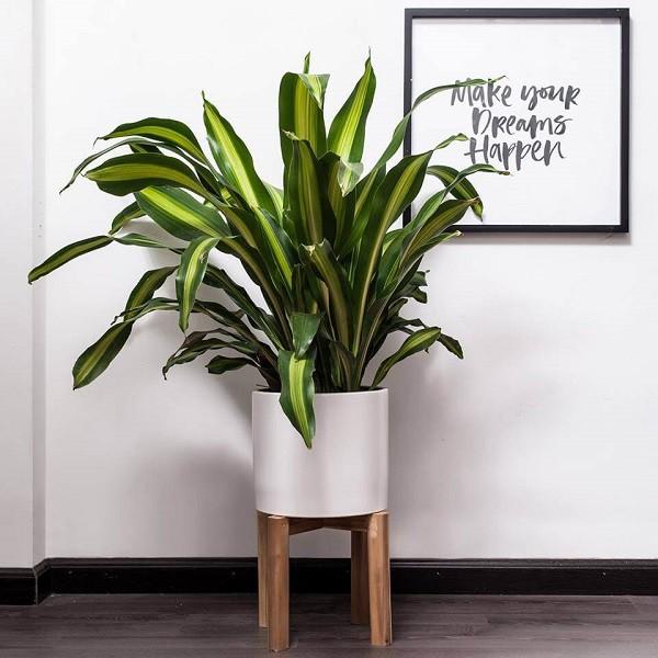 7 loại cây cảnh nếu trồng trước cửa nhà gia chủ có thể yên tâm hưởng phúc - Ảnh 5.