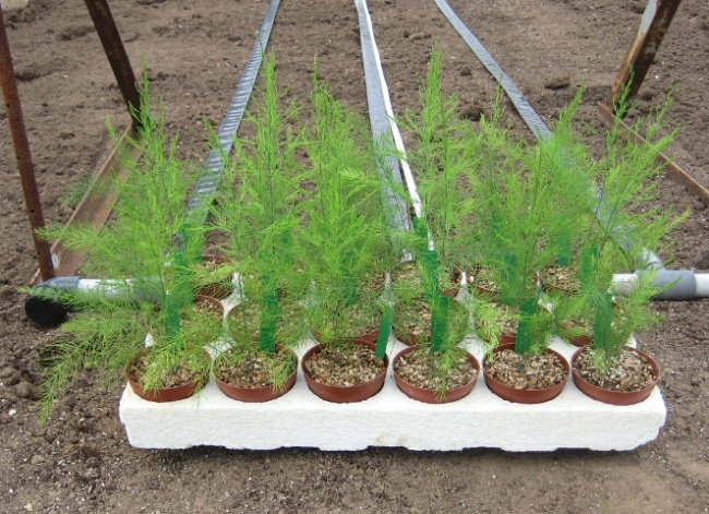 Nếu nhà bạn chỉ có thể trồng cây trong chậu vậy thì bạn đừng bỏ lỡ cơ hội thử trồng măng tây - Ảnh 1.