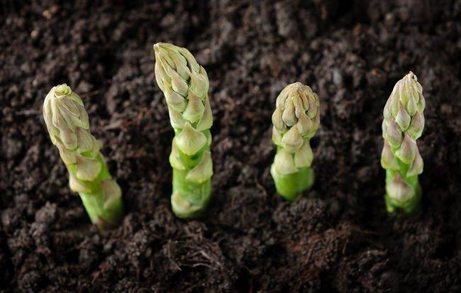 Nếu nhà bạn chỉ có thể trồng cây trong chậu vậy thì bạn đừng bỏ lỡ cơ hội thử trồng măng tây - Ảnh 3.