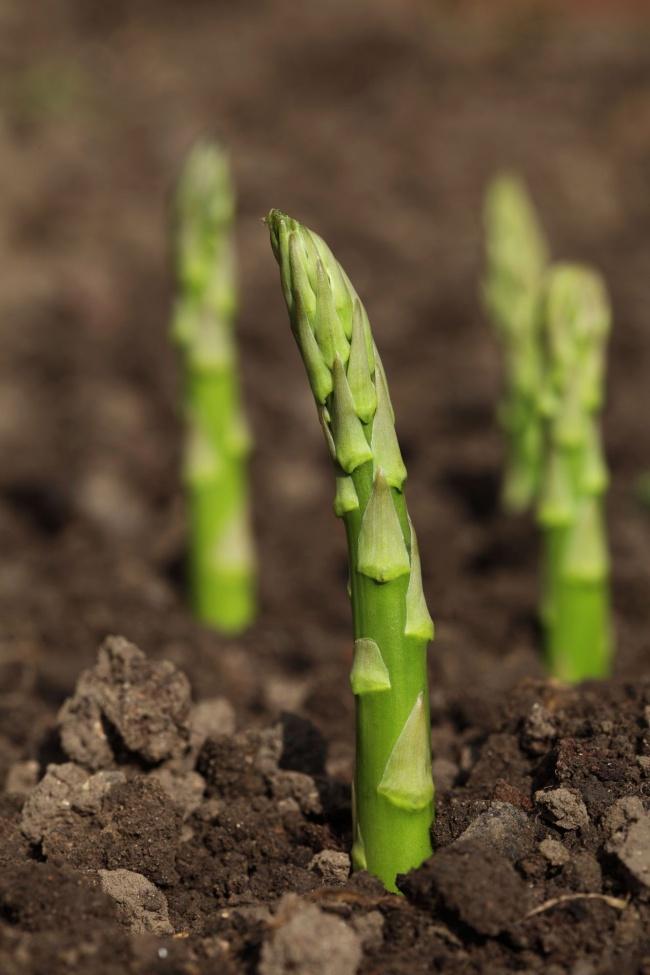 Nếu nhà bạn chỉ có thể trồng cây trong chậu vậy thì bạn đừng bỏ lỡ cơ hội thử trồng măng tây - Ảnh 4.