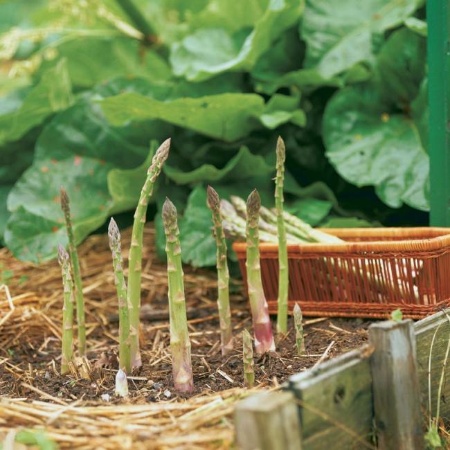 Nếu nhà bạn chỉ có thể trồng cây trong chậu vậy thì bạn đừng bỏ lỡ cơ hội thử trồng măng tây - Ảnh 5.
