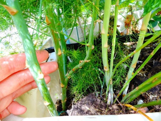 Nếu nhà bạn chỉ có thể trồng cây trong chậu vậy thì bạn đừng bỏ lỡ cơ hội thử trồng măng tây - Ảnh 6.