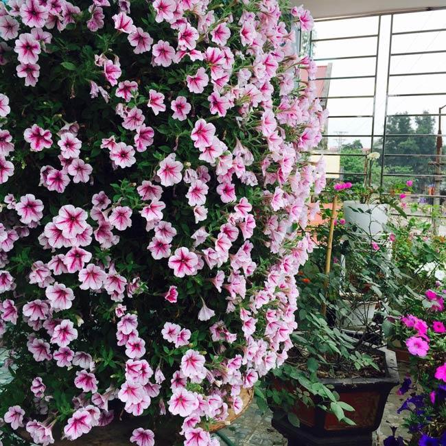 Ban công đẹp lung linh khi biết chọn những loài hoa này để trồng - Ảnh 2.