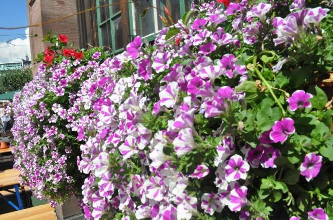 Ban công đẹp lung linh khi biết chọn những loài hoa này để trồng - Ảnh 3.