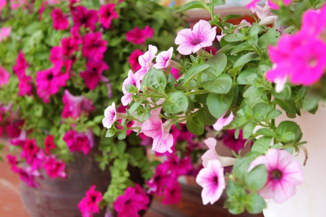 Ban công đẹp lung linh khi biết chọn những loài hoa này để trồng - Ảnh 4.