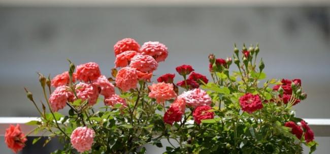 Ban công đẹp lung linh khi biết chọn những loài hoa này để trồng - Ảnh 7.