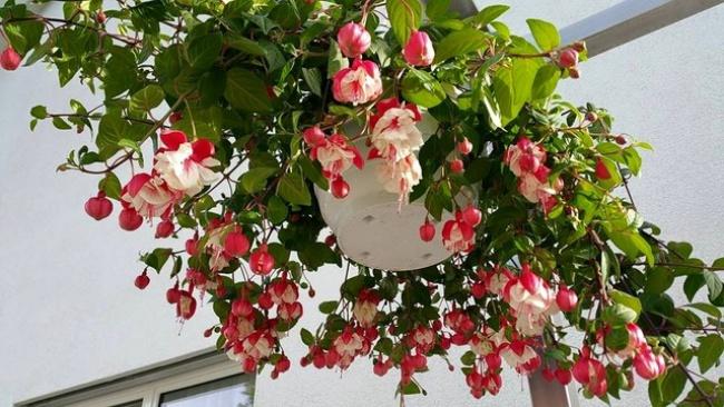 Ban công đẹp lung linh khi biết chọn những loài hoa này để trồng - Ảnh 10.