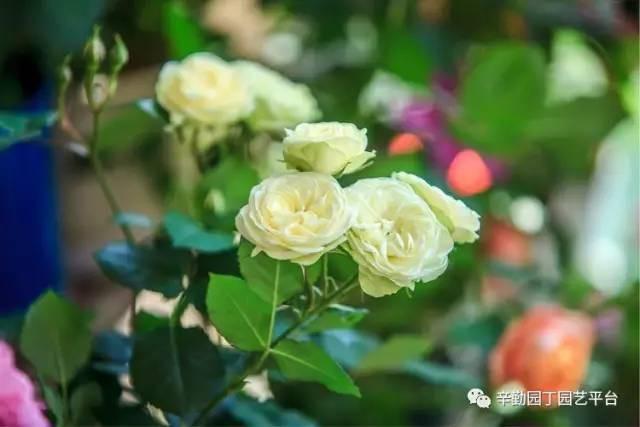 Ban công chỉ rộng vỏn vẹn 7m² nhưng tràn ngập hoa đẹp như cổ tích của bà mẹ bỉm sữa 2 con - Ảnh 5.