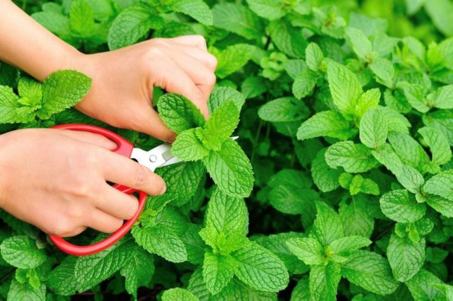 Những loại rau thơm vườn nhà giúp trị bệnh hiệu quả - Ảnh 3.