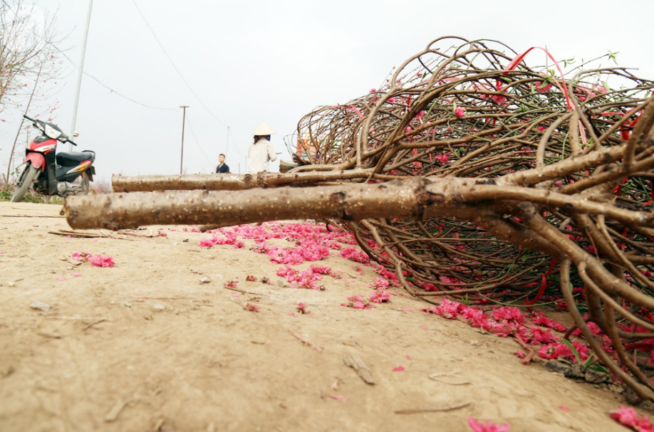 Nắng nóng bất thường sát Tết, đào Nhật Tân bung lụa khiến nông dân ngậm ngùi - Ảnh 9.