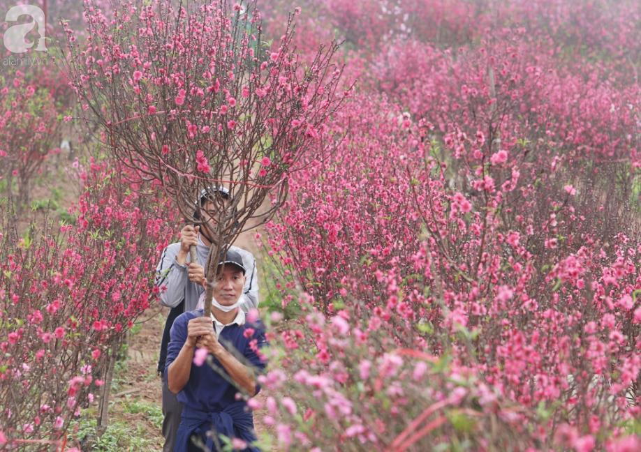 Nắng nóng bất thường sát Tết, đào Nhật Tân bung lụa khiến nông dân ngậm ngùi - Ảnh 1.