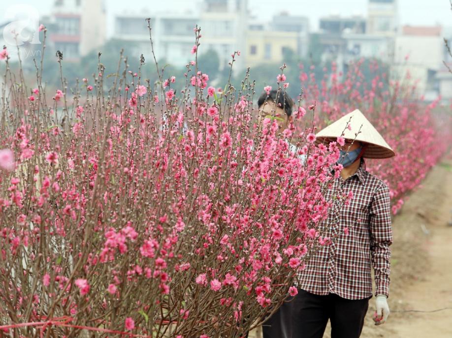 Nắng nóng bất thường sát Tết, đào Nhật Tân bung lụa khiến nông dân ngậm ngùi - Ảnh 2.