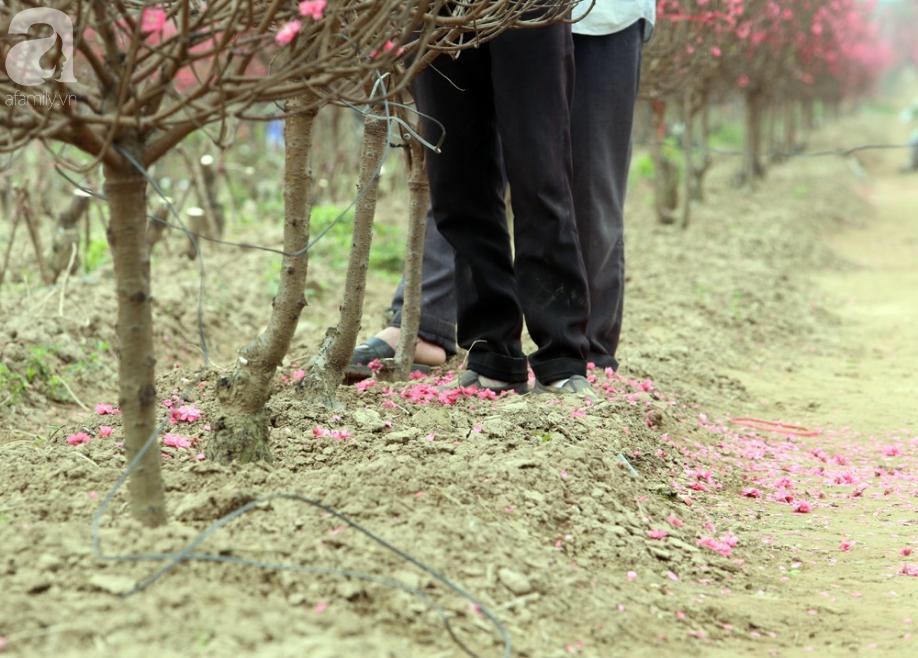 Nắng nóng bất thường sát Tết, đào Nhật Tân bung lụa khiến nông dân ngậm ngùi - Ảnh 7.