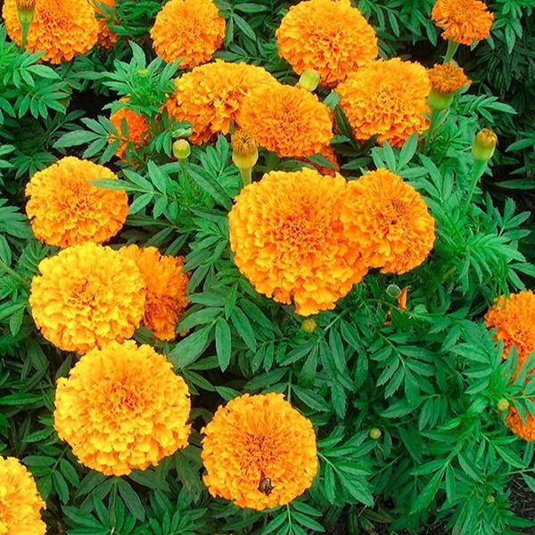 Mách bạn 10 loại cây trồng quanh nhà có khả năng xua đuổi kiến ba khoang hiệu quả - Ảnh 16.