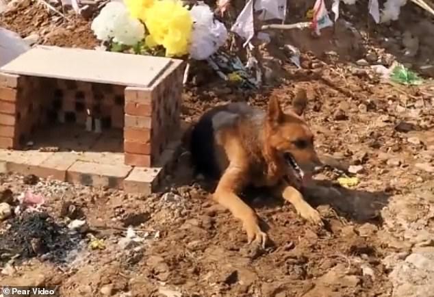 Dân mạng xúc động với hình ảnh chú chó 12 tuổi khóc, cào đất và nằm phục bên cạnh ngôi mộ của chủ nhân quá cố - Ảnh 2.