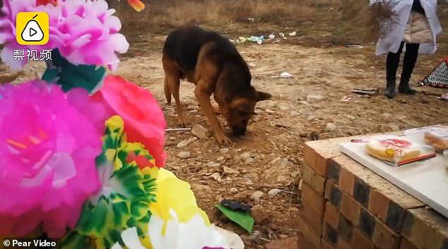 Dân mạng xúc động với hình ảnh chú chó 12 tuổi khóc, cào đất và nằm phục bên cạnh ngôi mộ của chủ nhân quá cố - Ảnh 1.